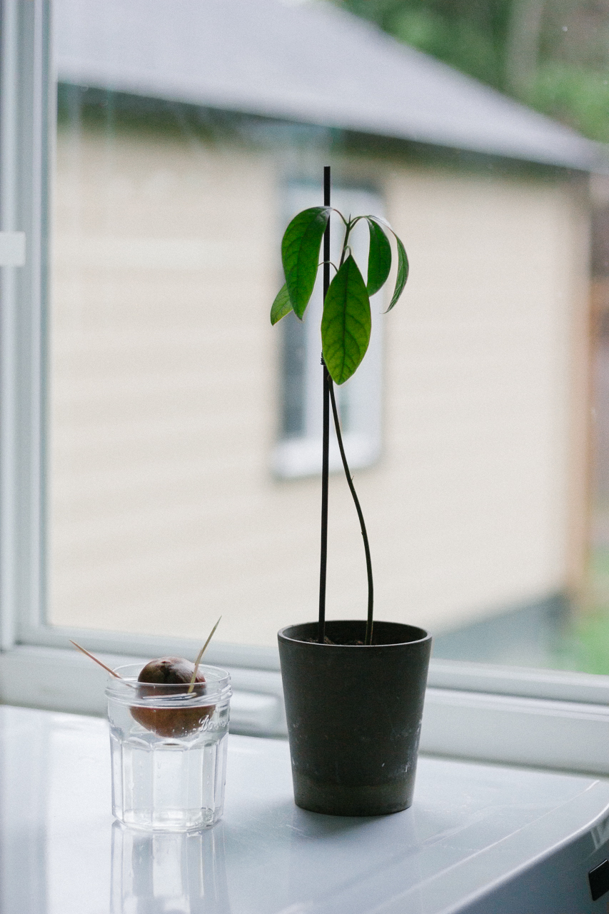 How to grow an avocado tree tutorial by Conscious by Chloé